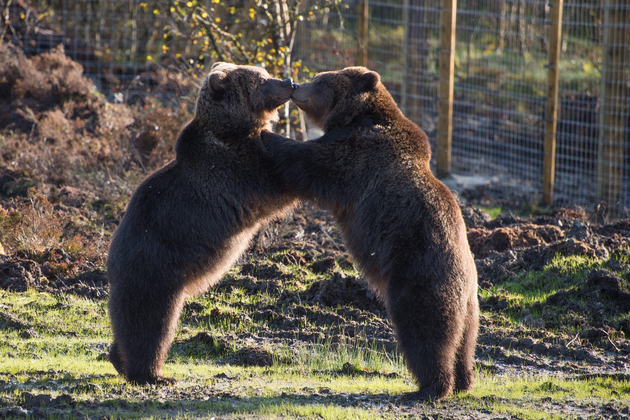 bears_in_ireland